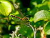 Blue Dasher, Kennebunk Bridle Path, Kennebunk ME