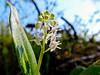 Canada May Flower, Kennebunk Bridle Path, Kennebunk ME