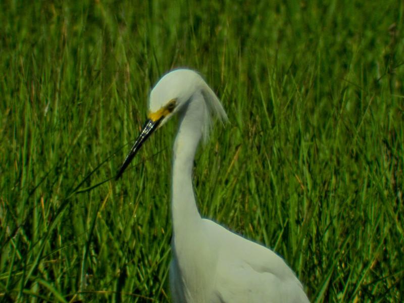 Snowy Egret: Kennebunk Bridle Path, ME 7/2010 Digiscoped, DiaScope65