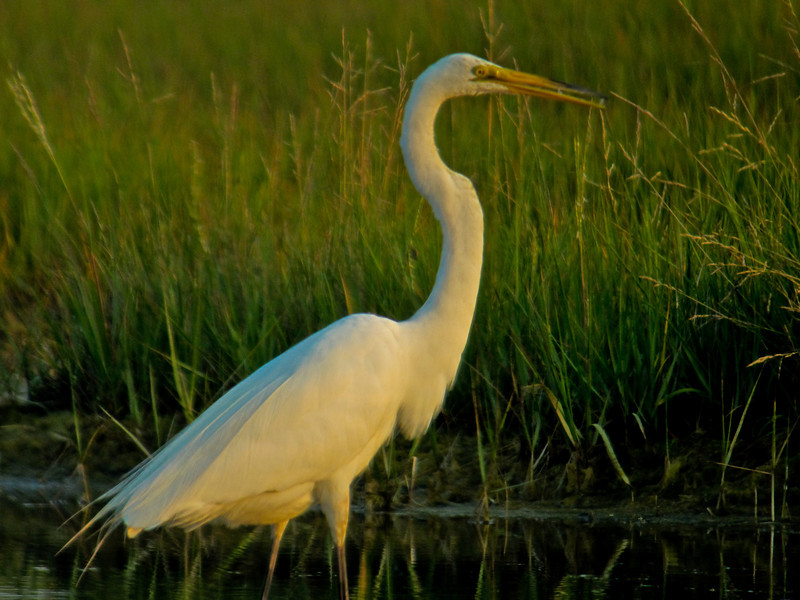 Great Egret, Kennebunk Bridle Path, ME 7/10