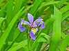 Iris, Kennebunk Bridle Trail, Kennebunk ME