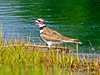 Killdeer: Kennebunk Bridle Path, ME 7/2010 Digiscoped, DiaScope65