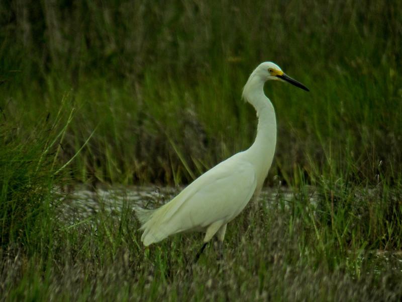 Snowy Egret, Kennebunk Bridle Trail, ME, 7/10 Digiscoped, ZEISS DiaScope