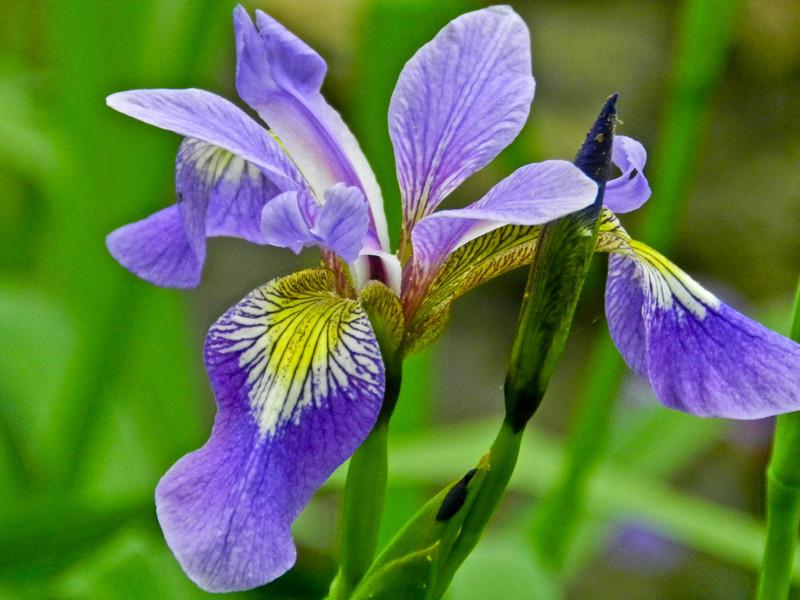 Iris, Kennebunk Bridle Trail, Kennebunk ME