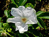 Rugosa Rose (Beach Rose), Kennebunk Bridle Path, Kennebunk ME