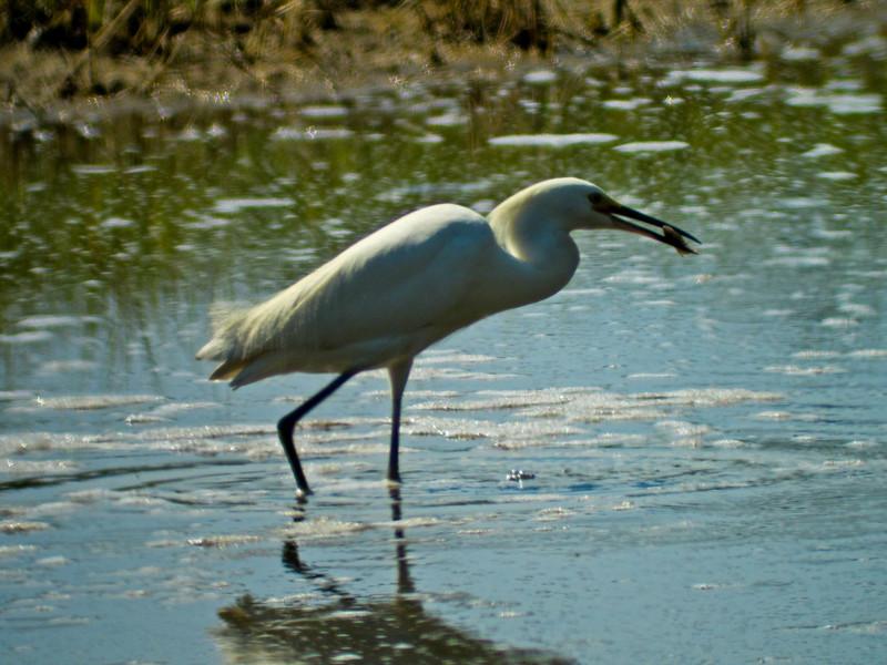Snowy Egret, Kennebunk Bridle Path, ME 8/10