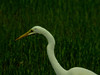 Great Egret, Kennebunk Bridle Path, ME, Digiscoped, DiaScope65FL