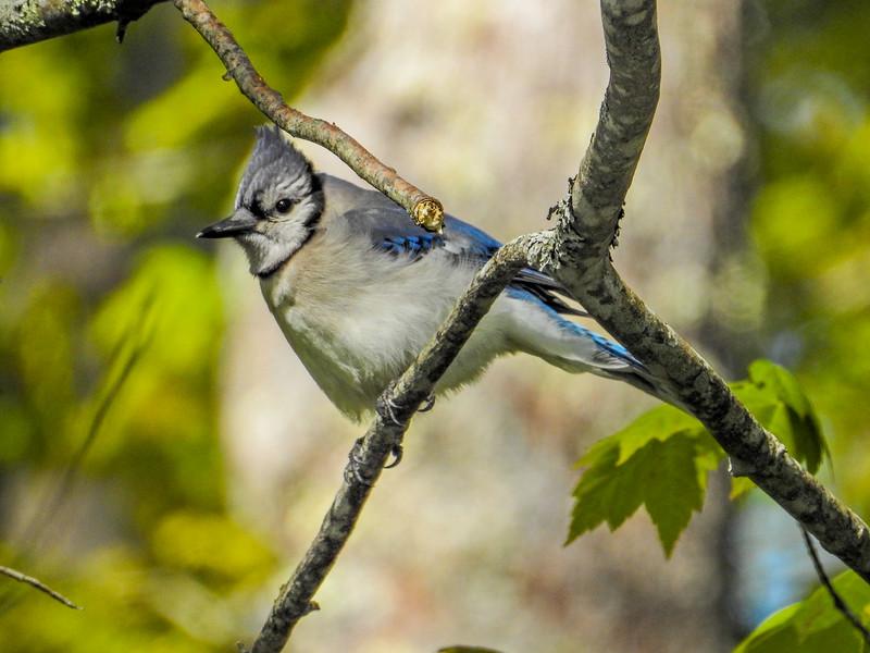 Blue Jay, Wells National Estuarine Research Center, Laudholm Farm, Wells ME