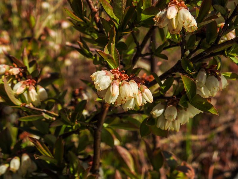Low Bush Blueberry, Wells National Estuarine Research Center, Laudholm Farm, Wells ME