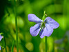 Wood Violet, Wells Estuarian Research Center/Laudholm Farms, Wells ME