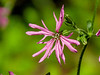 Ragged Robin, Wells Estuarian Research Center/Laudholm Farms, Wells ME