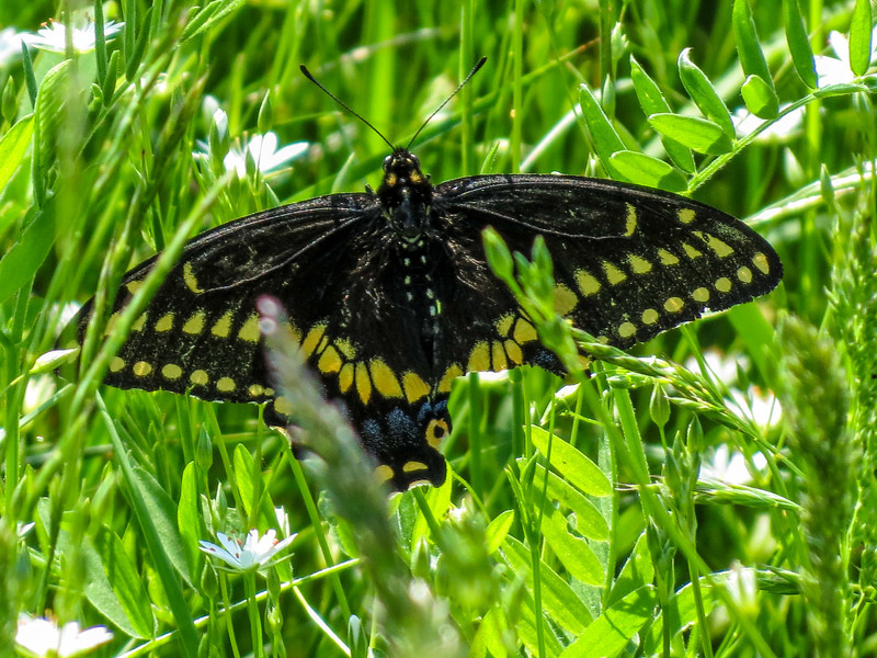 Black Swallowtail, Wells Estuarian Research Center/Laudholm Farms, Wells ME