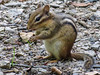 Chipmunk, Lauholm Farm, Wells ME