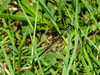 Eastern Forktail, Wells Estuarian Research Center/Laudholm Farms, Wells ME