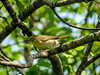 Common Yellowthroat, Wells Estuarian Research Center/Laudholm Farms, Wells ME