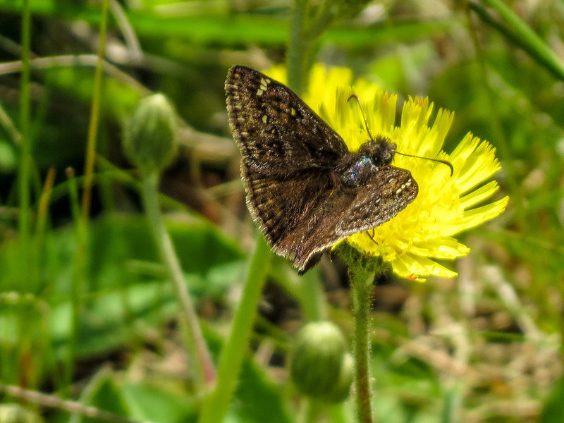 Duskywing Skipper (Juvinal's?), Wells Estuarian Research Center/Laudholm Farms, Wells ME