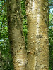 Yellow Birch, Lauholm Farm, Wells ME
