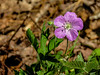 Richardson's Geranium, Wells Estuarian Research Center/Laudholm Farms, Wells ME