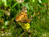 Painted Lady, Wells Estuarian Research Center/Laudholm Farms, Wells ME