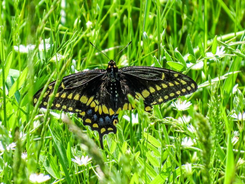 Black Swallowtail, Wells Estuarian Research Center/Laudholm Farms, Wells ME