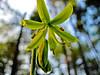 Blue-bead Lily, Rachel Carson NWR, 5/10