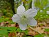 Wood Aneomone, Rachel Carson NWR, Wells ME 5/11