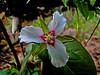 Painted Trillium, Rachel Carson NWR, Wells ME, 5/10