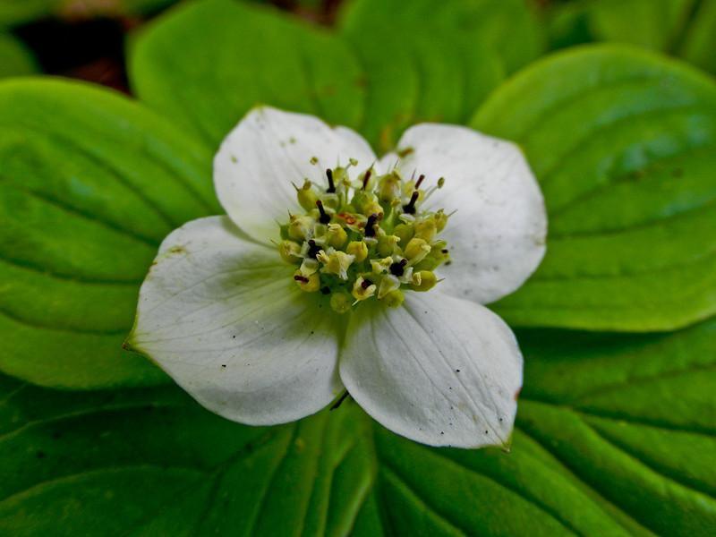 Bunchberry, Rachel Carson NWR, Wells ME