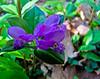 Gaywings, Fringed Polygayla, Rachel Carson NWR, Wells, ME 5/10