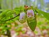Blueberry, Rachel Carson NWR, Wells ME 5/11