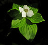 Bunchberry: Rachel Carson NWR, Wells ME, 5/10