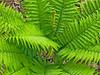 Cinnamon Fern, Rachel Carson NWR, Wells ME