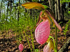 Pink Lady Slipper Orchid, Rachel Carson NWR, Wells ME, 5/10
