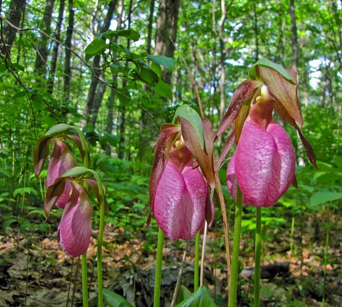 Lady Slipper Orchid, Rachel Carson NWR, Wells ME, 5/10