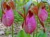 Pink Lady Slipper, Rachel Carson NWR, Wells ME