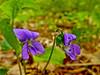 Dog Violet, Rachel Carson NWR, Wells ME 5/11