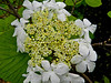 Hobblebush, Rachel Carson NWR, Wells ME 5/11