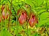 Pink Lady Slipper, Rachel Carson NWR, Wells ME 5/11