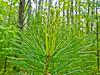 White Pine, Rachel Carson NWR, Wells ME
