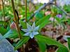 Starflower, Rachel Carson NWR, Wells ME 5/10