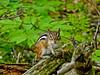 Chipmunk, Rachel Carson NWR, Wells ME