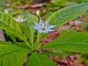Star Flower, Rachel Carson NWR, Wells ME