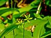 Blue Bead Lily, Rachel Carson NWR, Wells ME