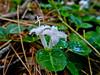 Wintergreen Flowers, Rachel Carson NWR, Wells ME