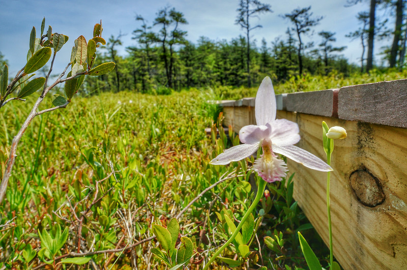 A day at Saco Heath when the orchids were in bloom.