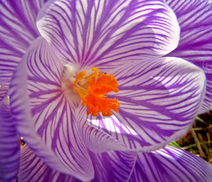 crocus, Kennebunk ME 4/10/09