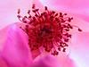 Kennebunk ME, Rose