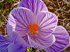 Crocus, Kennebunk ME 4/9/09