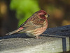 Purple Finch, Back Deck, Kennebunk ME