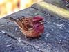 Purple Finch, Back Deck, Kennebunk ME